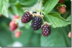 Blackberries on Vine_thumb